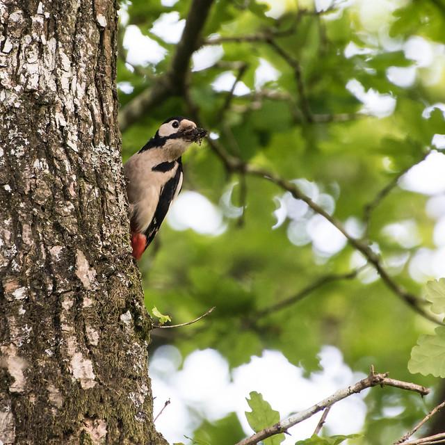 Great Spotted Woodpecker (Dendrocopus major)