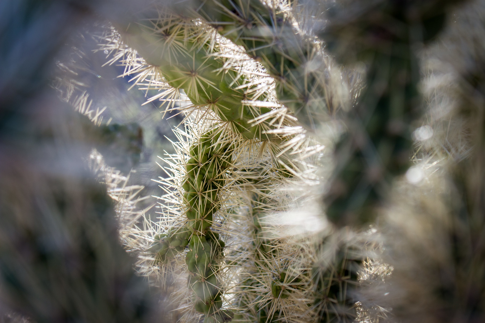 Looking inside the spiky branches of a cholla cactus