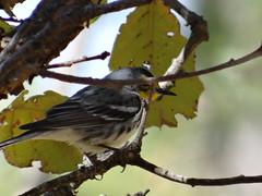 04182013 487 Grace's Warbler - Setophaga graciae