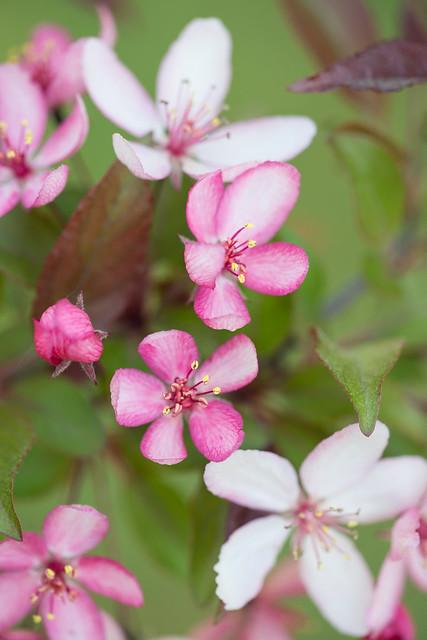 Pink Ornamental Apple Blossoms