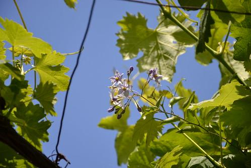 Solanum jasminoides - faux-jasmin 8988080297_68aa918d2c