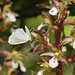 A tiny moth rests on flowers of the spotted coral root orchid.