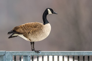 Canada Goose | by humanaaut