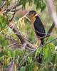 Collared forest-falcon (Micrastur semitorquatus) by Kester Clarke