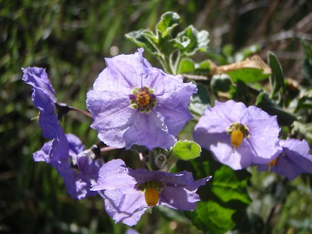 Solanum xanti (Chapparal nightshade)