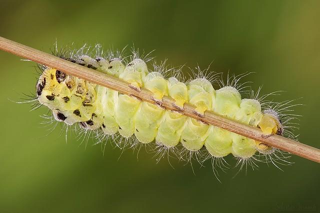 Caterpillar of Zygène - Chenille de la zygène de la filipendule