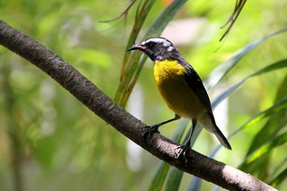 Bananaquit ( suikerdiefje) | by Frans.Sellies