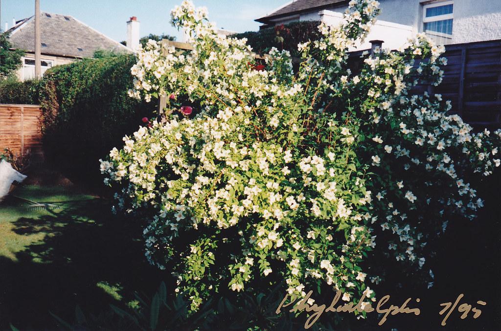 jasmin à grandes fleurs