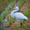 All puffed up - Intermediate egret (Egretta intermedia) by Okinawa Nature Photography