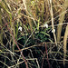 Snowdrops (Galanthus nivalis) in hedge bottom, Staples Lane, Clandon Downs TQ05865137