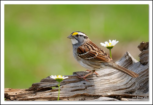 white throated sparrow | by lindapp57