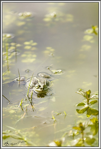 Grenouille 01 | by ad.david007