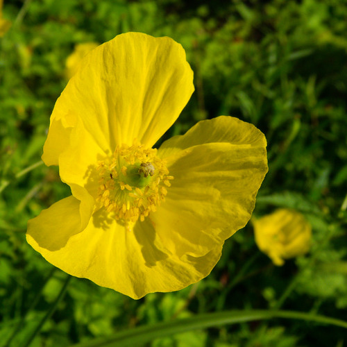 Yellow (and green): poppy