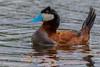 Male Ruddy Duck (Oxyura jamaicensis) Display - Quilchena, BC by bcbirdergirl