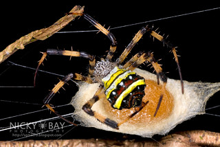 St Andrew's Cross Spider (Argiope versicolor) - DSC_4390   by nickybay