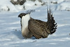 036014-IMG_6852 Greater Sage-grouse (Centrocercus urophasianus) by ajmatthehiddenhouse
