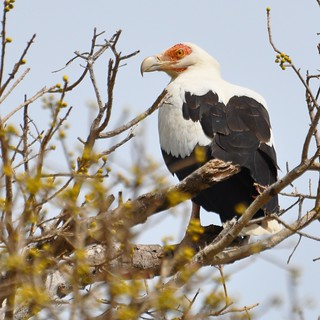 Gypohierax angolensis - Palm-nut Vulture - Palmiste africain -  04/02/12 | by Philippe_Boissel