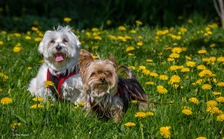 Latte and Java taking time to enjoy the brief dandelion season | by Phil Marion (173 million views - THANKS)
