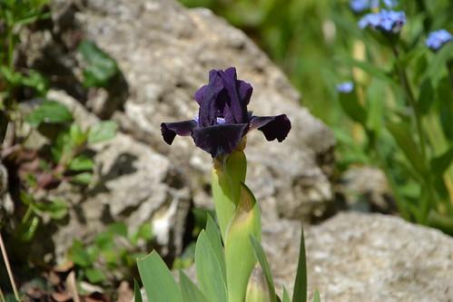 Iris nains horticoles 2012-2015 - Page 3 8718561046_b49a27595d