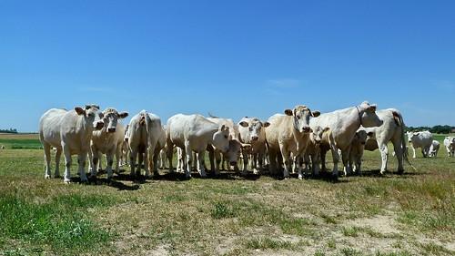germany deutschland cow cattle alemania allemagne brandenburg kühe buey radweg pistecyclable carrilbici rinder ciclopista niedergörsdorf flämingskate bœuf byciclelane bycicleroute bouvillon