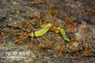 Red Weaver Ants attacking Caterpillar - DSC_4860