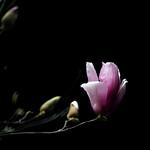 Magnolia 紫玉蘭