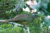 Band-tailed Guan - Penelope argyrotis by arthurgrosset