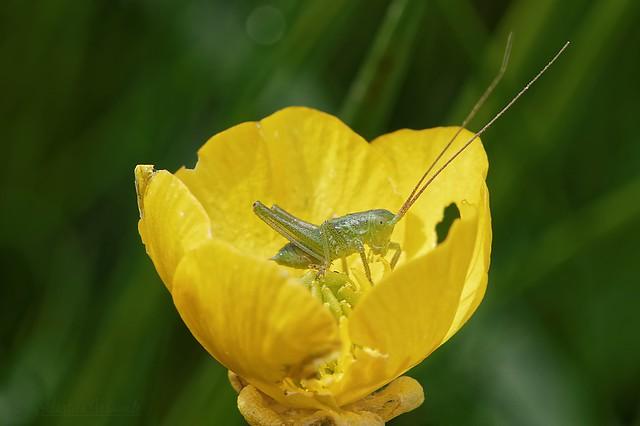 Baby grasshopper in common buttercup - Bébé sauterelle dans bouton d'or