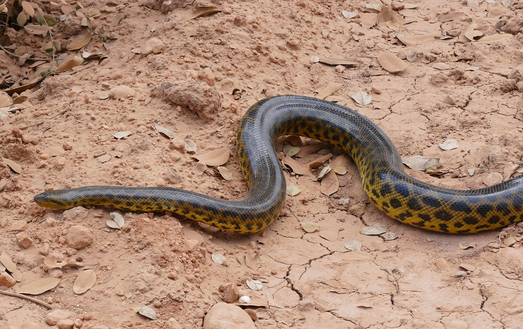 Yellow Anaconda (Eunectes notaeus) crossing the road ...