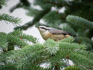 Red-breasted Nuthatch | by Justin Lee (NoNameKey)