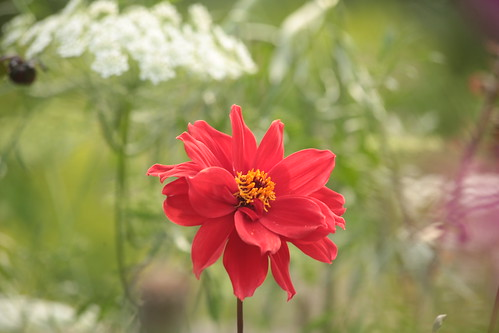 Dahlia 'Bishop of Llandaff' | by Henry Hemming