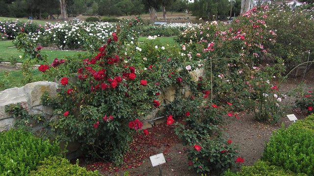 IMG_8877 Santa Barbara Postel garden tempo rose