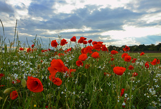 More Poppies | by Dun.can