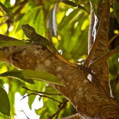 Tricolore lizard
