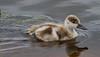 Australian Shelduck duckling, Tadorna tadornoides, Bibra Lake, Perth, Western Australia by BioGeo2009