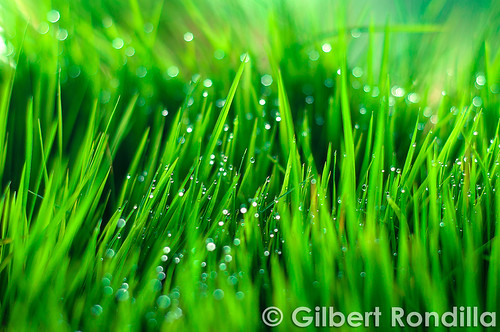 food plants plant green grass leaves san rice philippines nursery fresh dew getty filipino laguna rafael agriculture seedlings pinoy gettyimages palay grassblades luisiana 50mm18d nikond90 dapog gilbertrondilla gilbertrondillaphotography gettyimagescollection