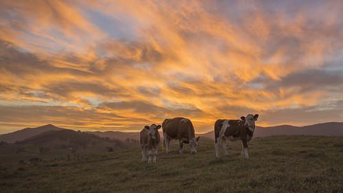 sunset sky gloucester barrington cows farm