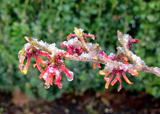 Wet snow on witch-hazel | by Ruth and Dave