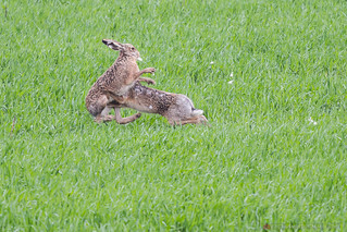 Wrestling Rabbits   by excessmind