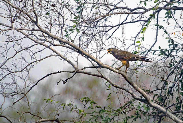 Grasshopper buzzard in Zakouma National Park in Chad