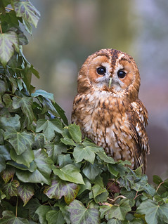 Tawny | by tomh198218