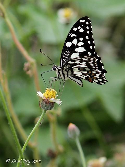Papilio demoleus / Voilier échiquier / Lime Butterfly