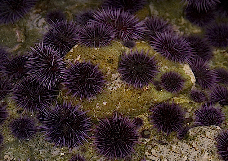 Purple Sea Urchin - Strongylocentrotus purpuratus