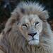 Image: Jake the White Lion