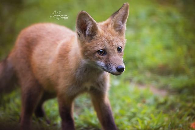Portrait of a Fox Kit