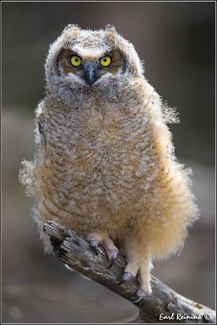 Great Horned Owl (20130423-0179)