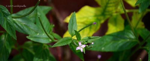 il fiore del mirtillo!   by Clarita ... la vita è meglio di una fiction