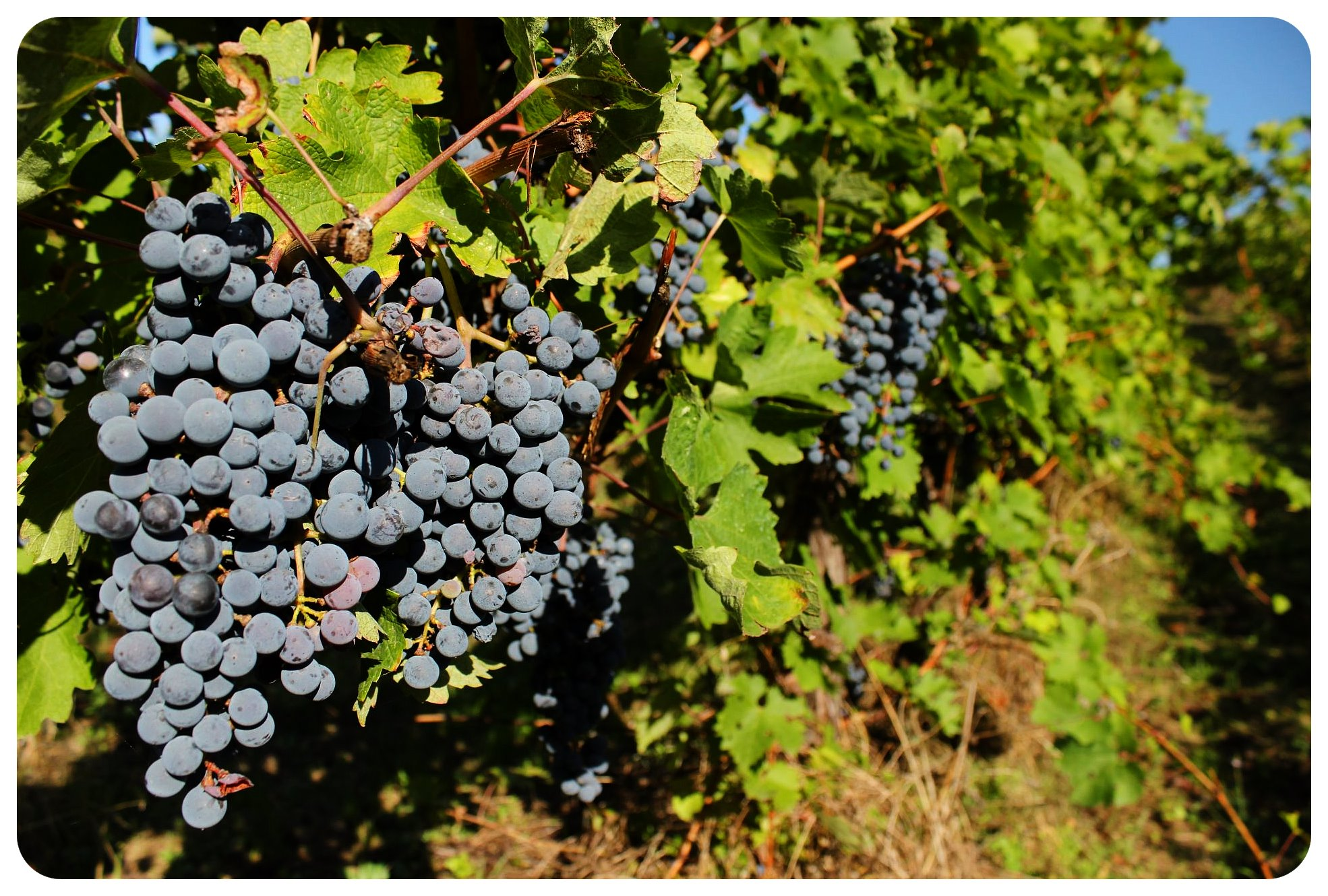 vineyard umbria