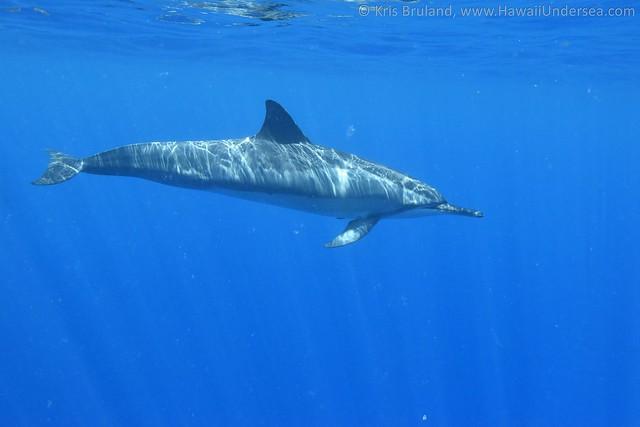 spinner dolphin: Stenella longirostris