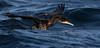 Sporskarv  Great Cormorant by hdahlby